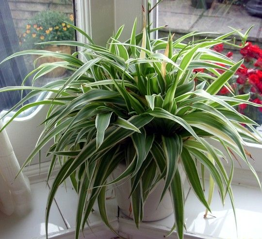 Spider plant family great for indoors cleans the air and for Indoor plants easy maintenance