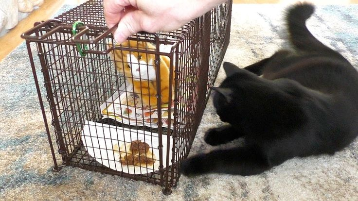 How To Trap Feral Cats TNR FeralCatDay (With images