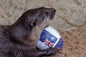 This Otter Scoring A Try On A Tiny Rugby League Pitch Is The Cutest - BuzzFeed