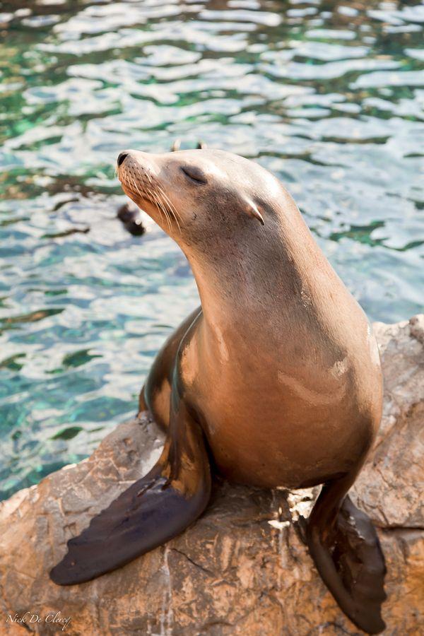Female Sea Lion - Camera Shy by Nick De Clercq