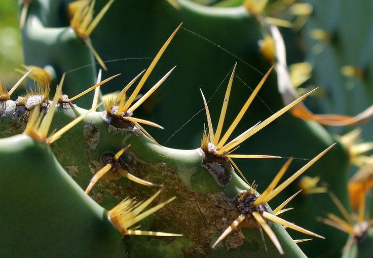 Cactos, Folha Cactus, Planta, Espinhos