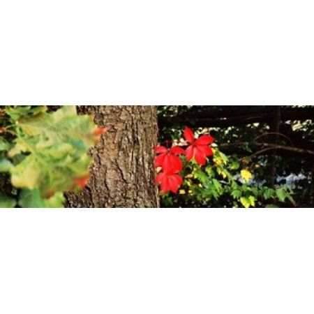 Maple leaves on trees Tolland County Connecticut USA Canvas Art - Panoramic Images (36 x 12)