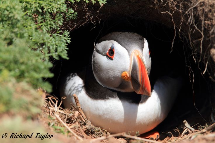 Puffin sitting in the newly dug burrow. They will lay their eggs in the burrow, and take turns to fish for Sand Eels for the young and at the end of summer they leave to spend the rest of the year in the North Atlantic. What a tough life, but they always look gorgeous!