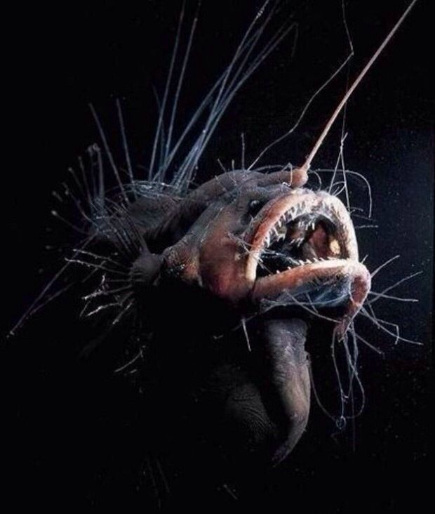 Deep Sea Anglerfish. Kudos to whoever took this amazing photo.