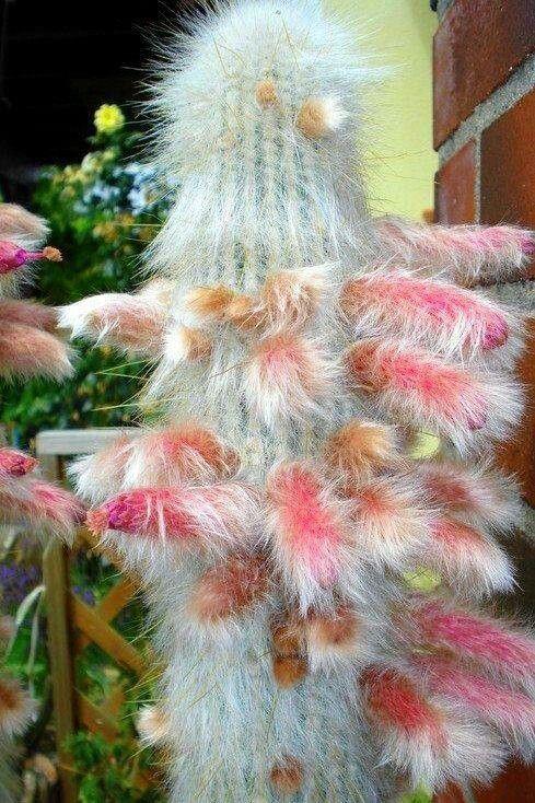 Cactus peludo | invernadero | Pinterest | Cacti, Plants and Gardens