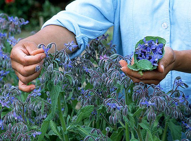 Les fleurs comestibles du jardin - La bourrache