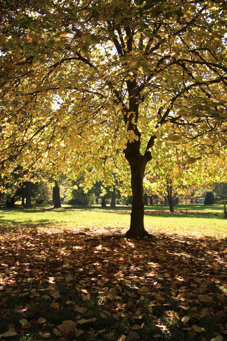 1922 best arboles arbres trees para dendrofilos for Arboles ornamentales jardin