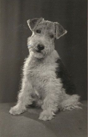 fox terrier | Flickr - Photo Sharing!