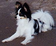 Tiny Papillion Breeders Tiny Papillion Dog Breeder Papillons Puppies For Sale