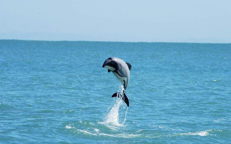 dolphin hd widescreen wallpapers for desktop