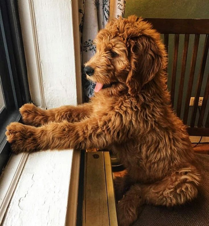 Curious goldendoodle cockapoo dog puppies cute baby