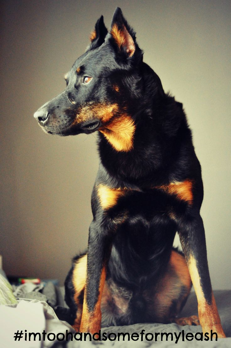 69 best Beauceron images on Pinterest | Doggies, Dogs and