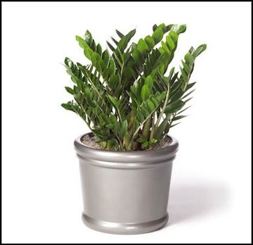 10 best images about low light plants on pinterest snake plant wandering jew and money trees - Good indoor plants low light ...