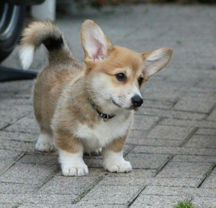 1000 Images About Corgis Doxies And Other Cute Critters