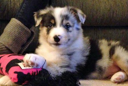 Subie the Australian Shepherd-I got me a new toy! See how happy I am?