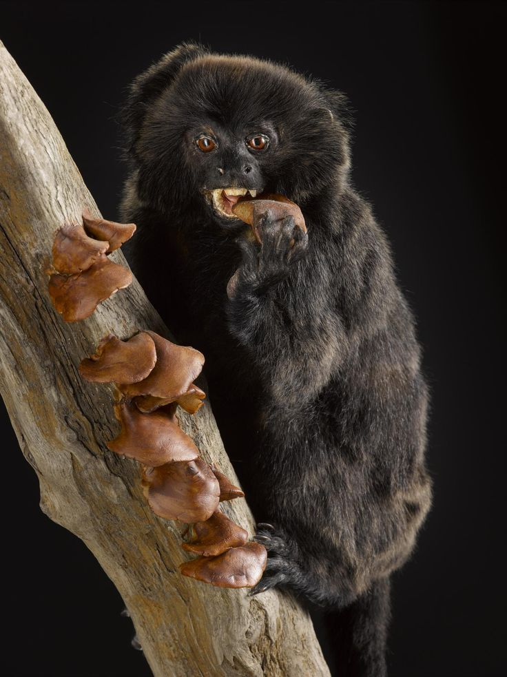 Primates eat different things, depending on where they live and what is available. Goeldi's monkeys like this one eat fungus!