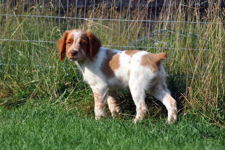 Brittany Dog Breed Information Brittany Spaniel Dog Breeds