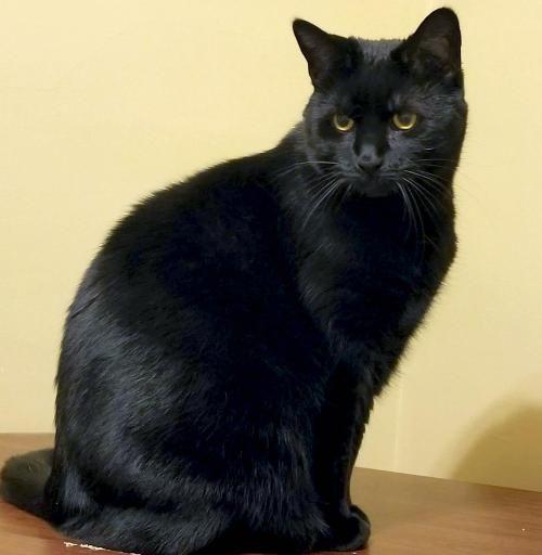 Hi I M Rara I M An Adult Spayed Female Black Domestic Short Hair Cats And Kittens White Cats Cat Adoption