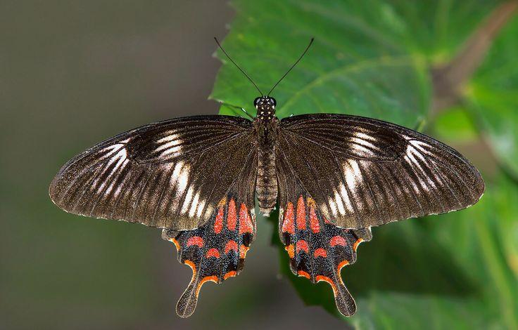 Indian Common Mormon (Female) - Papilio polytes romulus