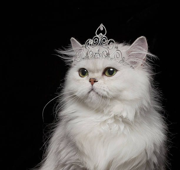 White Persian Cat wearing tiara
