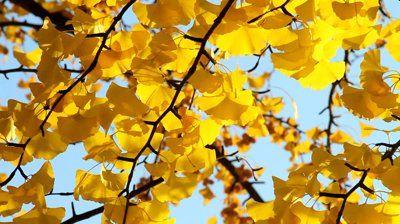 stock-footage-yellow-leaves-ginkgo-biloba-tree-close-up-autumn-scene.jpg 400×224 pixels