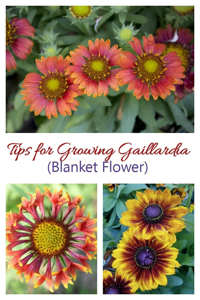 Growing Gaillardia Blanket Flower Perennial Care Tips For This