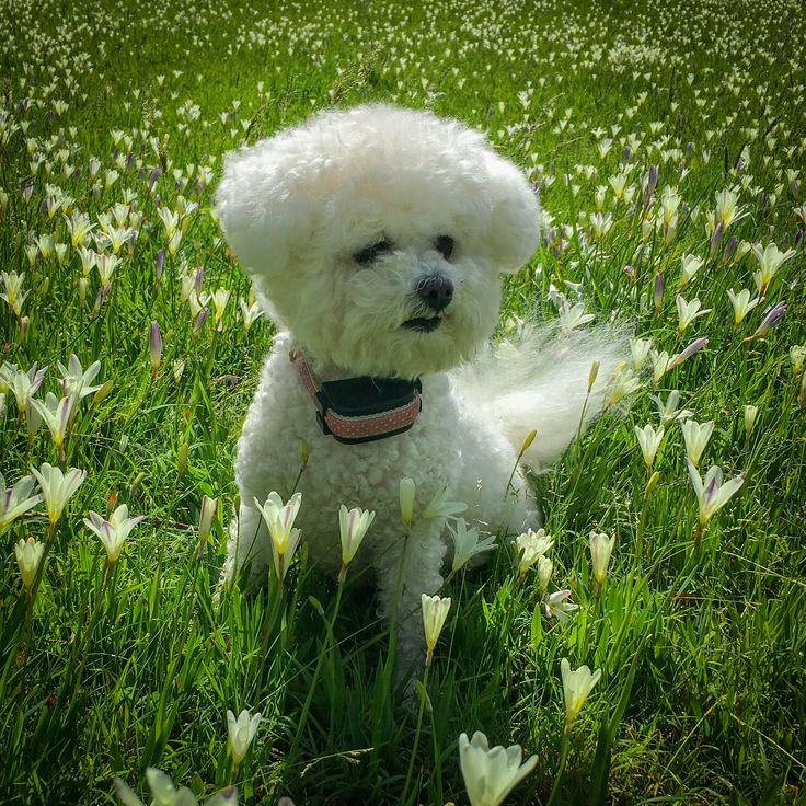 Meet Jouet, a 10 year old baby bichon frise who loves nothing more than dancing in the flowers and looking cute. Purchase a print, cards, or a full size digital file of this image at www.kirkvogel.com