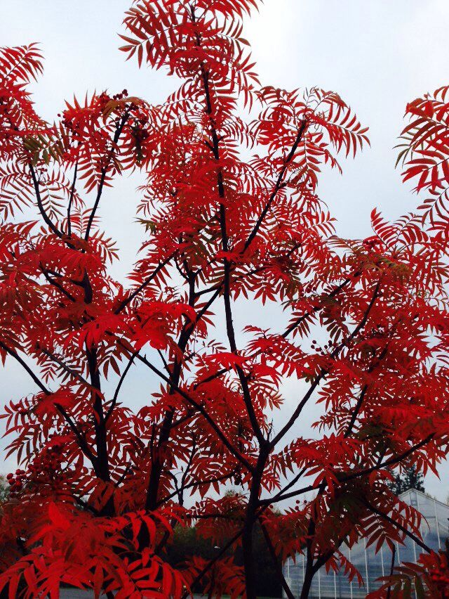 Sorbus 'Dodong'