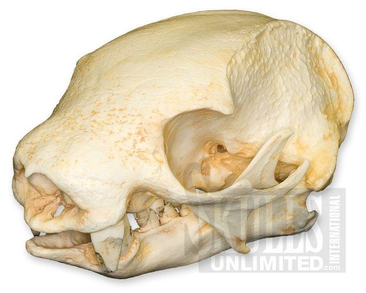 WTQ-85: Hoffmann's Two-toed Sloth Skull ( Replica)