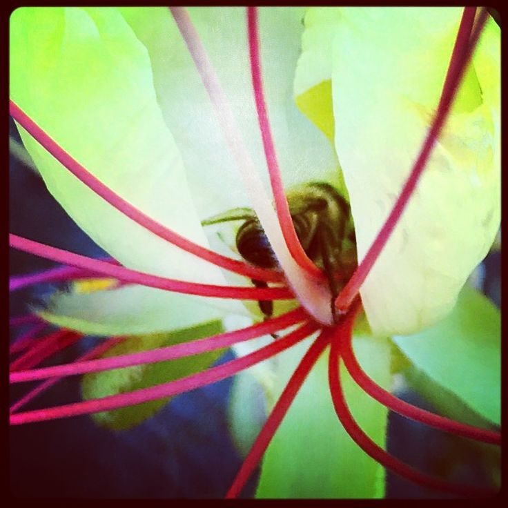 #bloom #pink #flowers #wildflowers #growth #spring #desert #floral #fragrance #beauty #nature #life #bee #pollen #eat #eating #bug #juice #photography #pigpaint