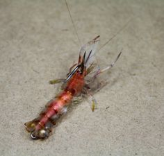 Fly Tying Patterns | Fly Tying Nation: Saltwater Nation - Saltwater fly pattern