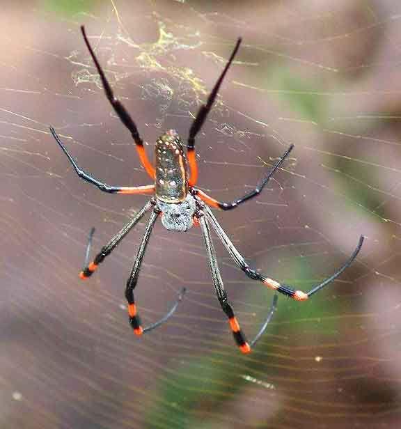 Golden silk orb weaver spider.  Gorgeous!
