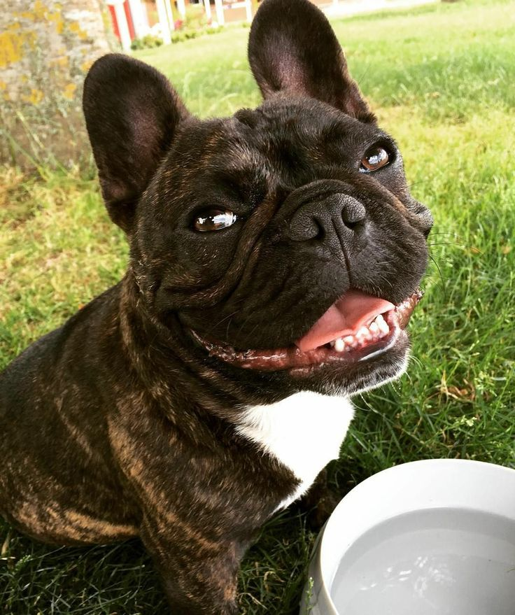 Pin By Nika On French Bulldogs Are Amazing In 2020 French Dogs French Bulldog Puppies Bulldog