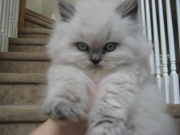An example of a Himalayan kitten produced by my breeder, Sundancer Persians & Himalayans. I'm thrilled to pieces with the sweet, gorgeous kittens I got from her! <3