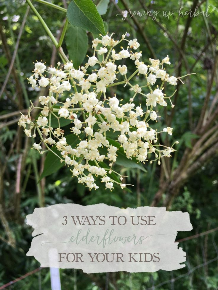 It's that time of year where the elder trees are blooming. Whether you buy it or gather it, learn 3 ways you can used elderflowers for your children's health.