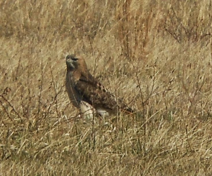 174 best text structure books and resources images on pinterest if you have driven along a road that has a mix of field meadows and forest you have probably passed a red tailed hawk fandeluxe Image collections