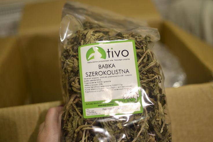 Zioła dla gryzoni (szynszyli) - babka lancetowata. Jeden z ulubionych przysmaków dla szynszyli. #szynszyle #chinchilla #szynszyla #uszynszyla #gryzonie