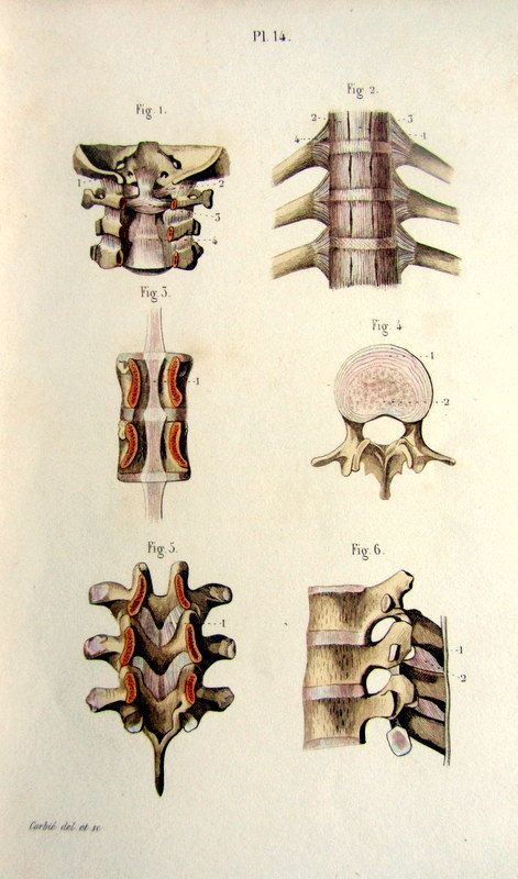 1852 vintage print of vertebrae  antique by LyraNebulaPrints, $25.95