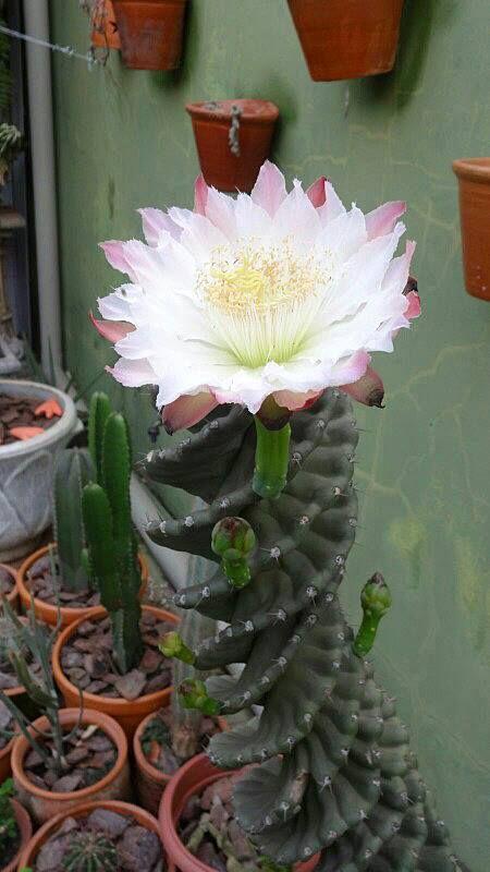 Cereus forbesii var. spiraliforme