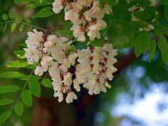 Akácvirág gyógyító ereje - Fotó: panoramio.com