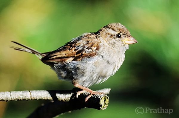 Sparrow perching on a tree branch