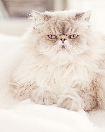 Persian cat by iluv2bauntie, via Flickr