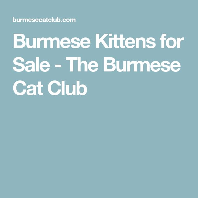 Burmese Kittens for Sale - The Burmese Cat Club