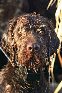 How to Protect Your Gun Dog in Cold Weather Hunting - Gun Dog Magazine