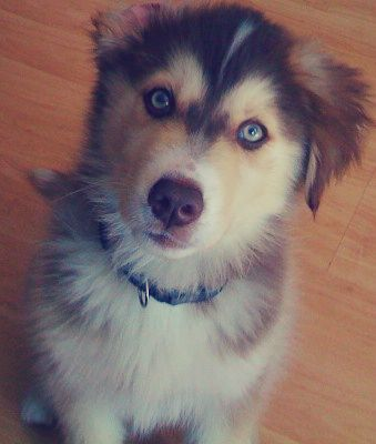 Golden Retriever/Siberian Husky mix! AHHHHH