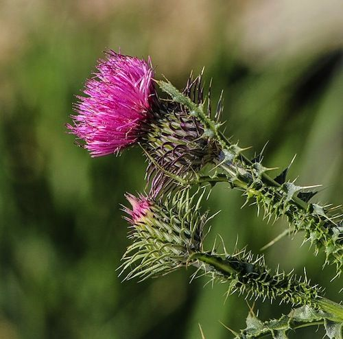Milk thistle has been scientifically proven to repair liver damage and it can help to prevent hangovers, too.