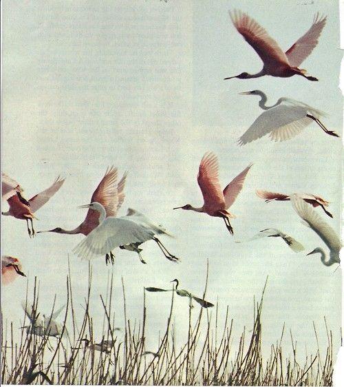 birds,birds ...: Birds Birds Paradis, Pink Flamingos, Birdsbird Paradis, Birds Birds Birds, Fabulous Flamingos, Paradis Lifestyle, Birdsbird Birds, Beautiful Birds, Birds In Flight