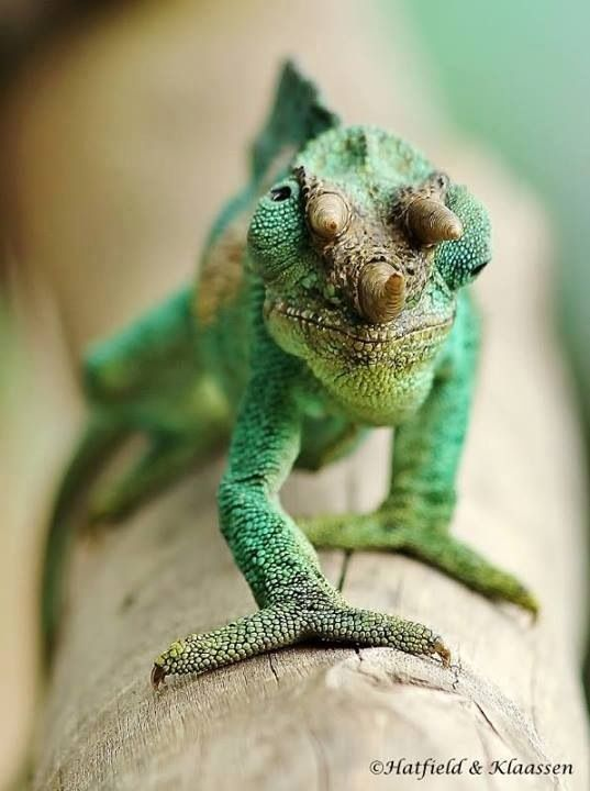 Jackson Chameleon - Just when you think you've seen it all.