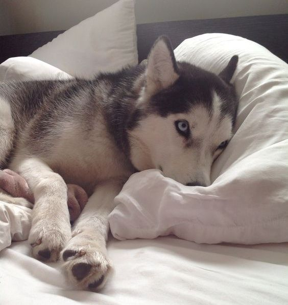 12 Realities New Husky Owners Must Accept