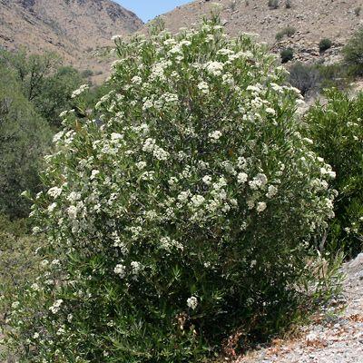Scientific Name Vauquelinia Californica Common Name